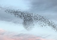 A flight of starlings