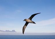 Albatros huppé à l'arrière, au large de l'archipel de Crozet, dans les ...