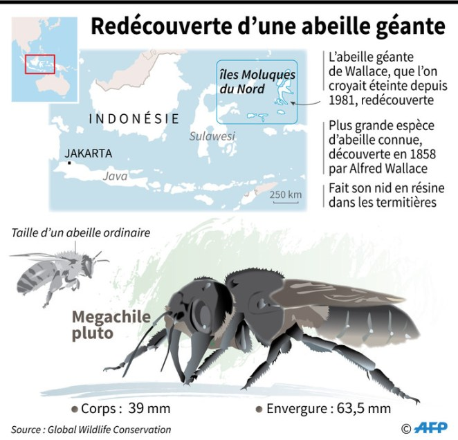The largest bee in the world found after decades-Photos