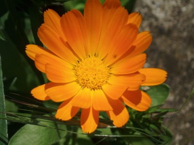 Health Benefits of Marigold Flowers   LIVESTRONG COM Health Benefits of Marigold Flowers