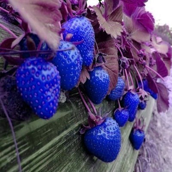Strawberry Plant Requirements