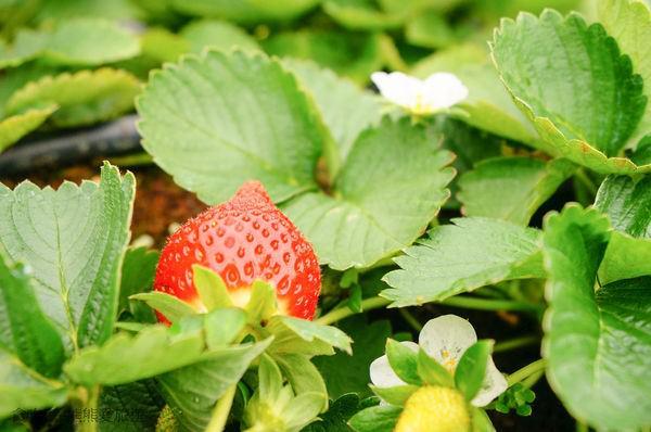大湖採草莓 吳家高架草莓園~高架採草莓更不累