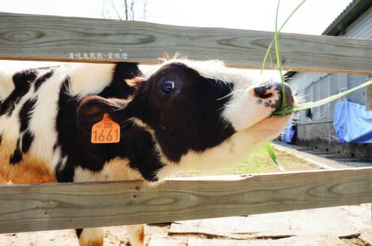 雲林牧場 雲林免費入園牧場-千巧谷牛樂園牧場-餵牛餵魚餵鴨-有的吃有的玩超適合親子旅遊
