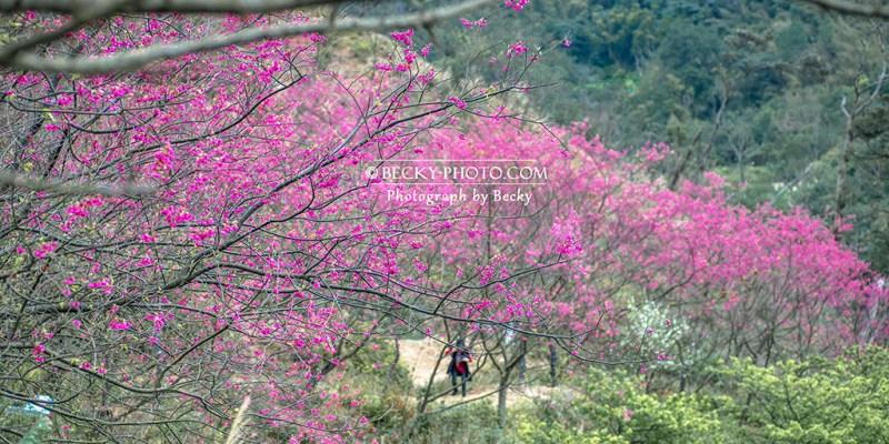 【新北】。三峽226竹崙路櫻花林, 有粉色吉野櫻山櫻花「熊空櫻花林」滿山滿谷