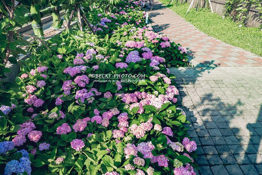 【新北】。泰山繡球花盛開!黎明步道花園泰林路二段@粉色紫色繡球花
