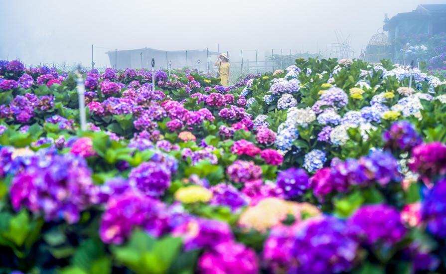【台北】。陽明山繡球花小油坑拍攝@頂湖財福繡球花霧裡看花