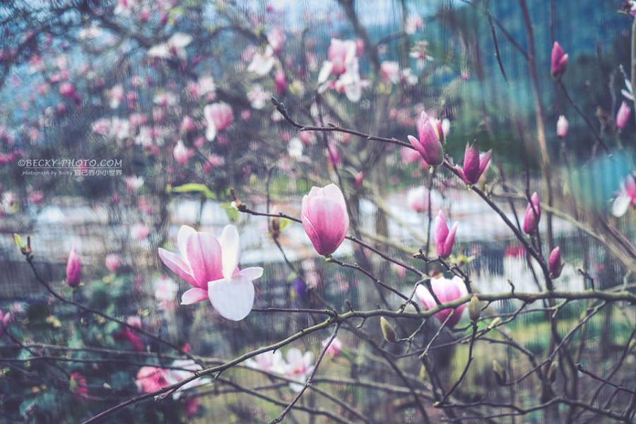 【新北】。淡水粉色木蘭花 楓樹湖交通停車 近天元宮