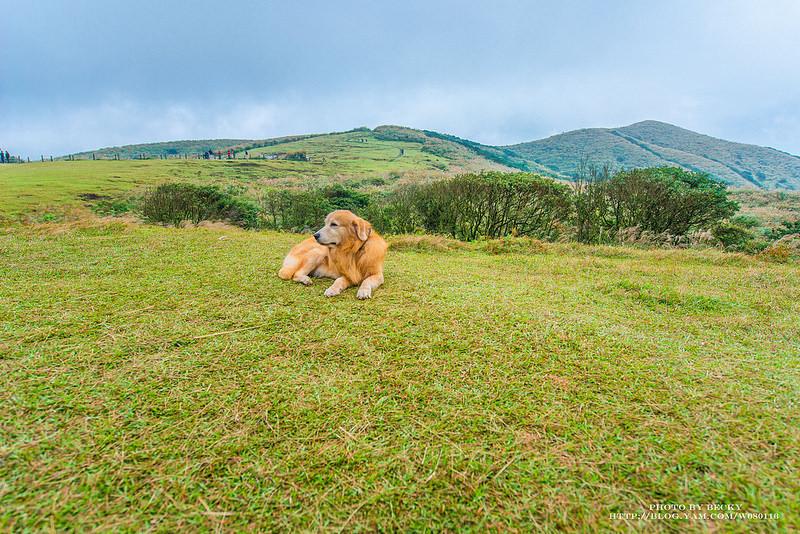 【台北】。可愛的狗兒也愛上了11月的陽明山芒花季 │ 擎天崗大草原*金包里大路城門*陽明山冷水坑*陽明山步道 Yangmingshan National Park