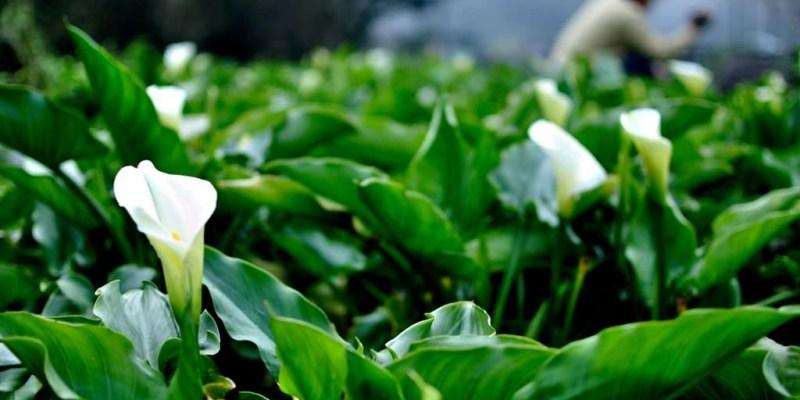 【台北】。2011竹子湖海芋季