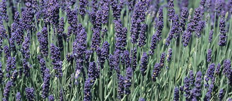 Lavender separates negative energies and attracts good luck