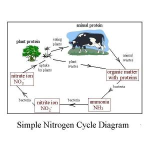 Easy Diagram of Nitrogen Cycle Shows Conversions in the