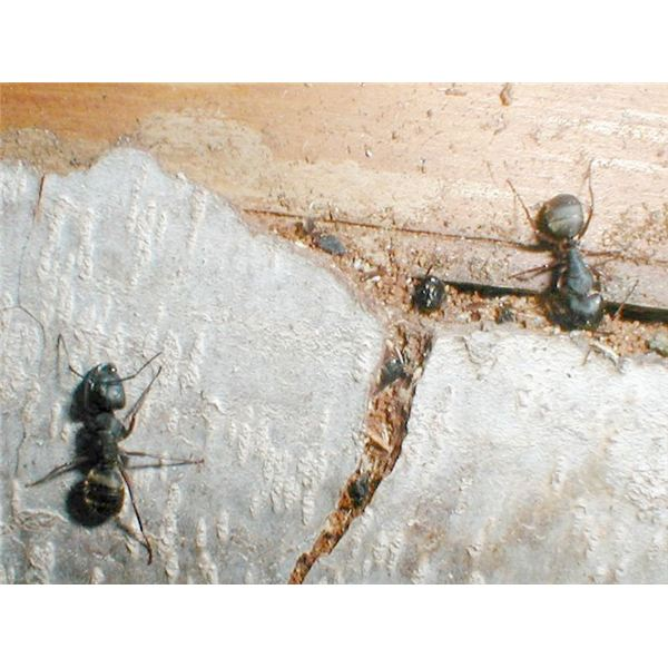 Get Rid Of Black Ants In House Naturally How