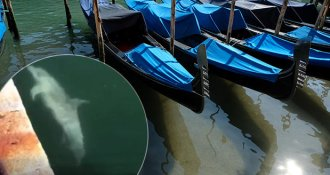 Sad lies about the coronavirus pandemic: The dolphins did not return to Venice