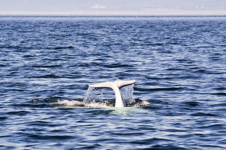 Las ballenas beluga se reproducen en la bahía de Cook, en donde se llevó a cabo el dispositivo que aúna tecnología de IoT y medioambiente.