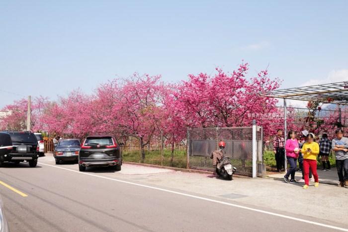 台中新社│櫻花秘境-新社山城賞櫻秘境,興社街的盛開豔麗櫻花景點