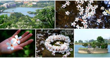 桃園桐花步道   大艽芎古道,桐花密集盛開好美,登頂遠眺搭船才能拜的水中土地公