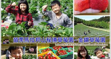 《 苗栗私房採草莓景點 》苗栗馬拉邦山採金鑽草莓~紮實口感、一吃就上癮 (2020已經開放採果)