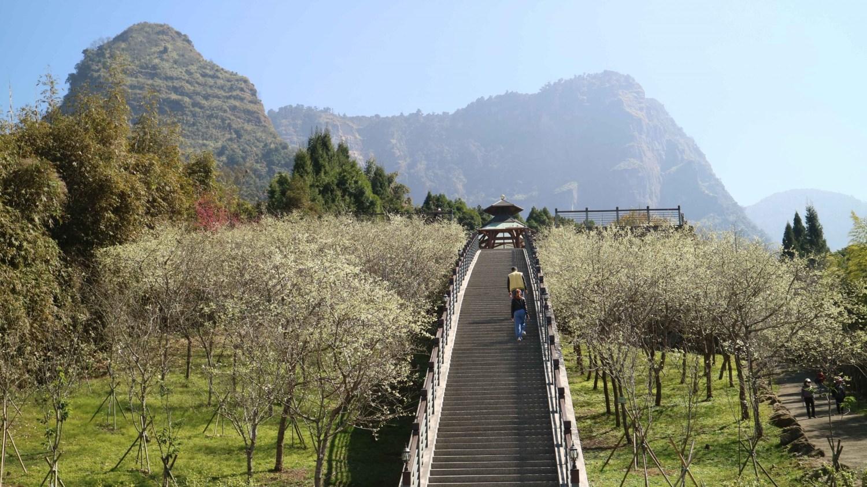 嘉義 寒溪呢|深山秘境|滿山櫻花盛開之地
