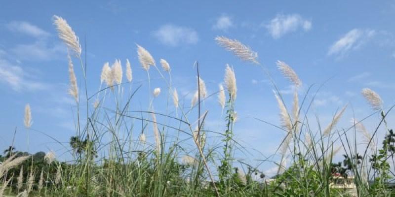 濁水溪、曾文溪畔「白浪美景」 非蘆非芒而是甜根子草