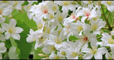 『紀實桐花』白色桐花,相關文章文章書籤