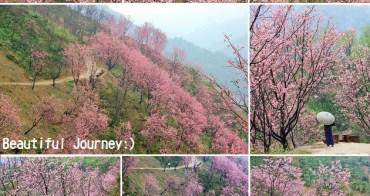 『新北櫻花季』三峽熊空櫻花林,粉嫩櫻花山谷追櫻趣!