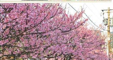 『春節賞花』平菁街42巷櫻花開了,煙火般的燦爛粉紅之美。