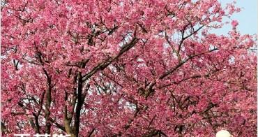 『櫻花前線』北台灣最先~陽明山平菁街42巷櫻花盛開中~