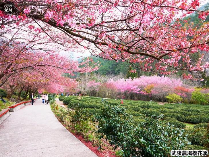 20190117224018 17 - 2019武陵農場櫻花季,賞櫻專車懶人包,含管制日期、各路線車票資訊。
