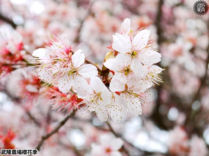 20190117224436 44 - 2019武陵農場櫻花季,賞櫻專車懶人包,含管制日期、各路線車票資訊。