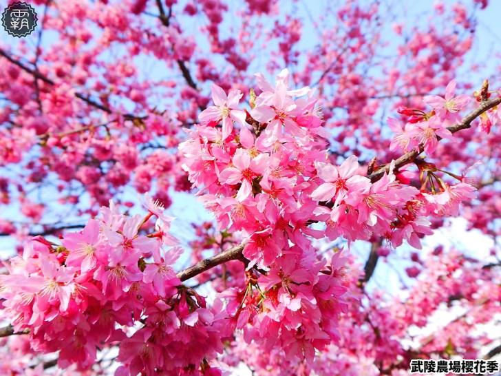 20190117225135 16 - 2019武陵農場櫻花季,賞櫻專車懶人包,含管制日期、各路線車票資訊。