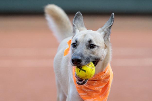 """""""Queremos indicar que los perros abandonados pueden adoptarse y entrenarse"""", dijo Andrea Beckert, una entrenadora de la Asociación de Bienestar Animal, a CNN. """"¡Después de todo, no es sencillo lograr un perro sólo para recoger pelotas perdidas, y despues abandonarlo!"""""""