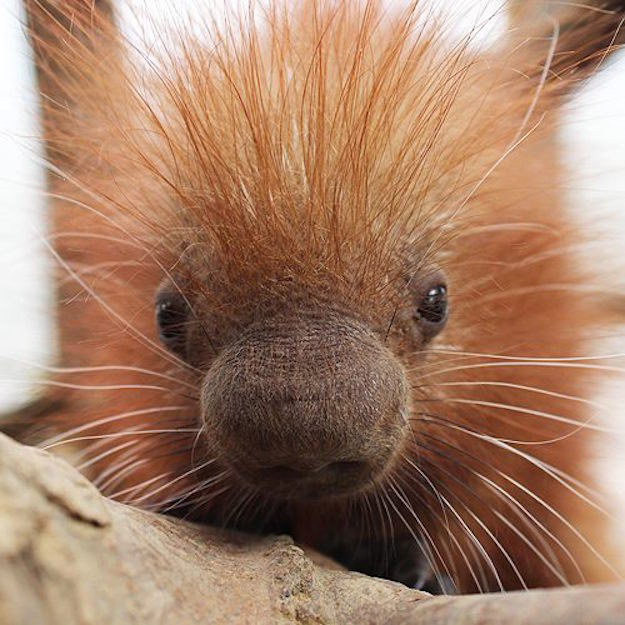 An adorable prehensile-tailed porcupine named Clover was born on St. Patrick's Day at the Binghamton Zoo in New York, and it's too cute to handle.