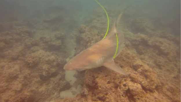 A spearfisher was diving in the waters off Hawaii when he says a shark became entangled in his diveline and he had to straddle the shark in order to free it.