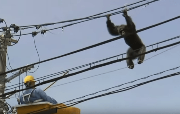 A chimpanzee led workers on a desperate, two-hour high-wire chase after escaping a zoo in northern Japan on Thursday, according to the Associated Press.
