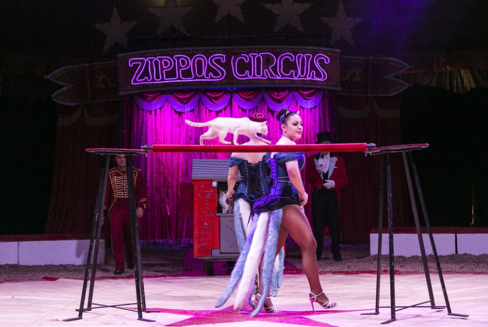 The cats will be touring Britain with Zippos Circus all season.