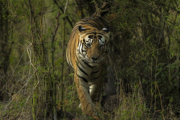 But in such a world, despite all the lies, exists Munna the tiger. Notice anything odd about him?