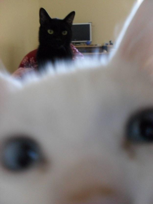 Having your feline children battle for your attention: