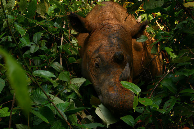 """""""While one birth does not save the species, it's one more Sumatran rhino on Earth,"""" says Dr. Susie Ellis, executive director of IRF."""
