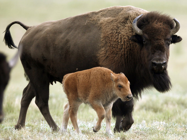 "The visitors were cited by rangers ""for placing a newborn bison calf in their vehicle and transporting it to a park facility because of their misplaced concern for the animal's welfare,"" said the park in a statement."