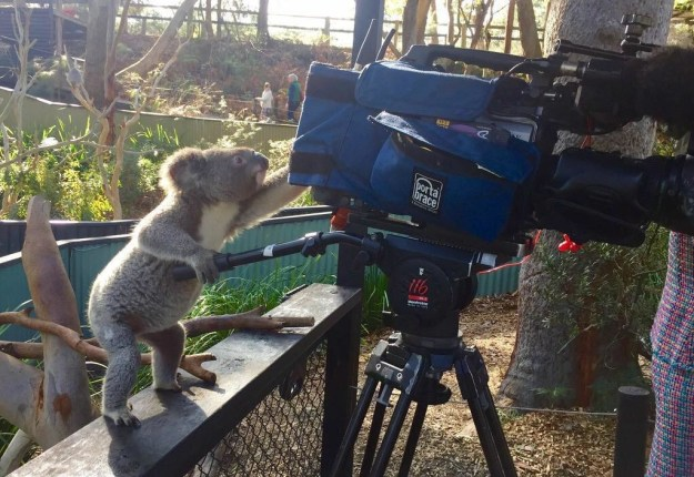 This koala bear documenting all the fun: