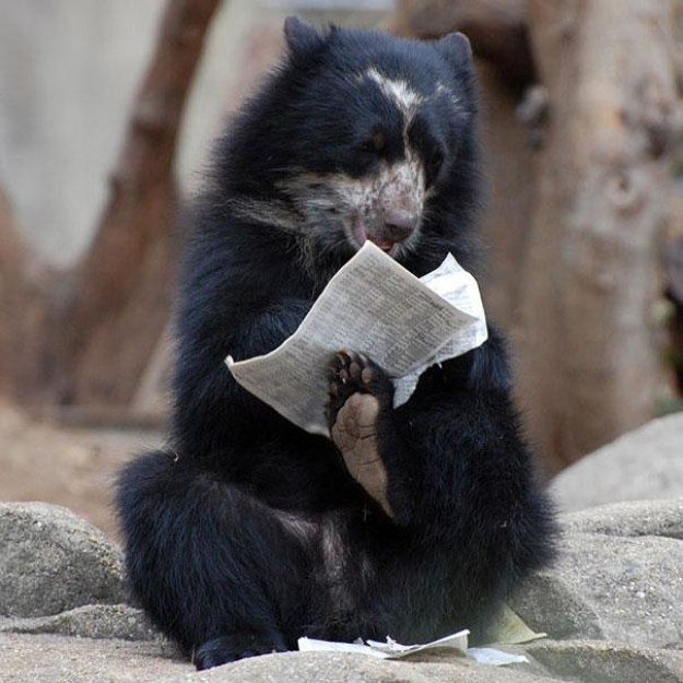 This bear doing the crossword puzzle: