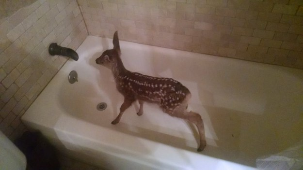 This wayward fawn ran inside a Colorado man's home Tuesday night and hid in his bathtub so this photo could exist.