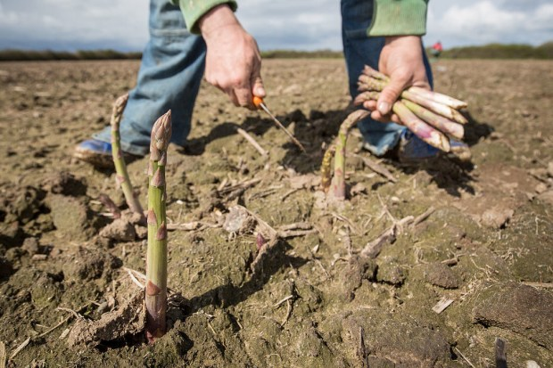 Asparagus grows STRAIGHT OUT OF THE GROUND and it's kinda creepy.