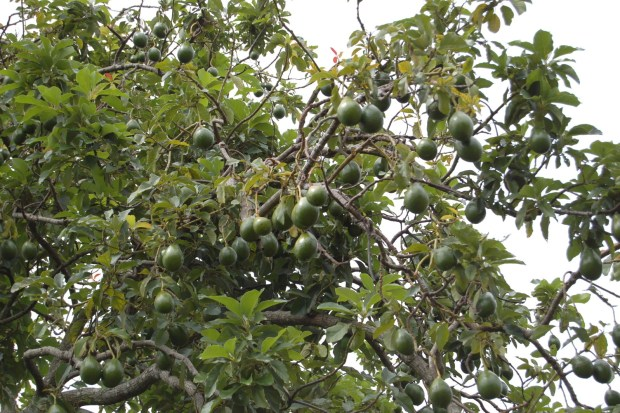 Avocados grow on trees in big clusters. See you at Chipotle!