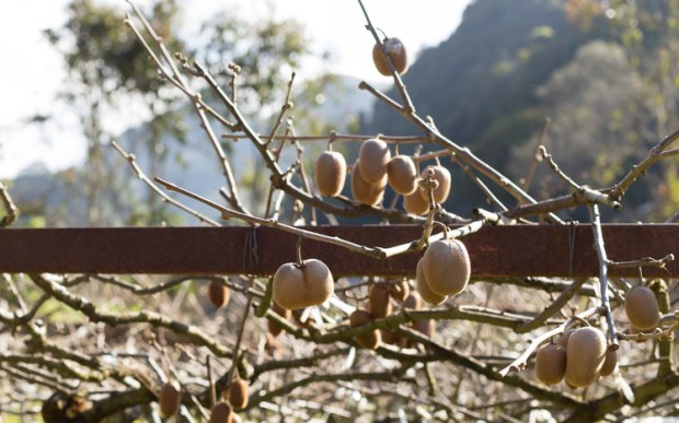Kiwi grow on vines. For some reason, I always pictured a tree??