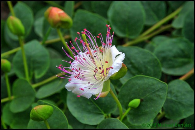 Capers are the pickled flower buds of this plant.