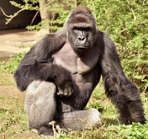 Of course we all remember that back in May a gorilla named Harambe was fatally shot by zoo keepers when a little boy fell into his enclosure.