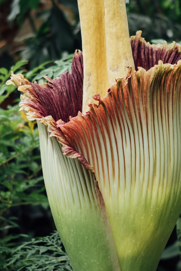 According to the NYBG, the rare plant, Amorphophallus titanum (also known as Titan arum), hasn't bloomed since 1939.