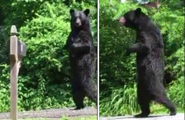 A New Jersey bear that charmed internet users with the ability to walk upright on his rear legs is believed to have been killed by a hunter, according to activists.