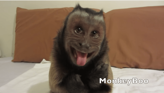 Boo the Monkey: Donald Trump Wins!